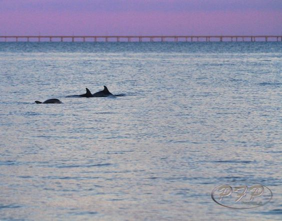 Chesapeake Bay Dolphins    Pete Federico