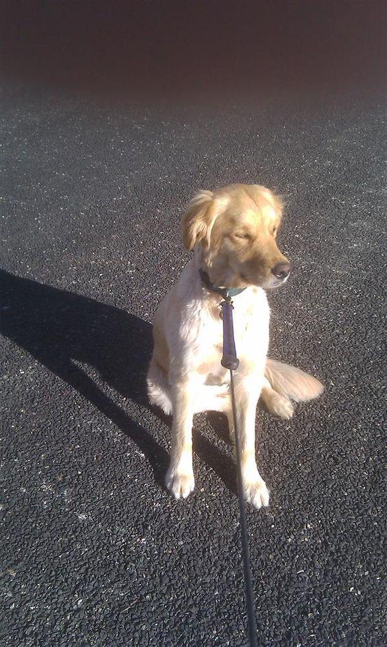 Lost Dog - Golden Retriever - Prescott, AZ, United States 86303