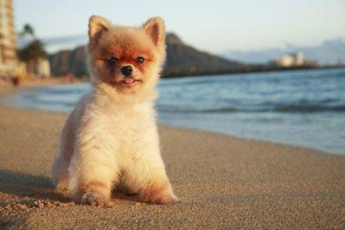 Pomeranian Pup