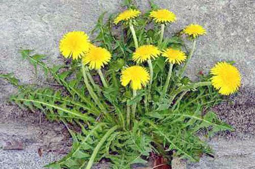 من اسرار الهندباء عليها قطرة من الجنة Plants