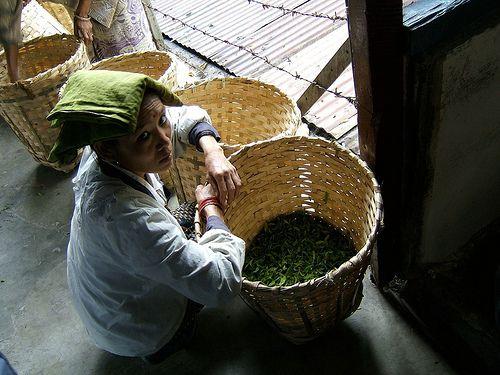 Cueilleuse de thé de Darjeeling  Darjeeling tea picker by Camellia-Sinensis, via Flickr