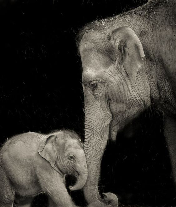 A baby elephant bonds with its mother at the Dublin Zoo - Photo by Chris Wild...