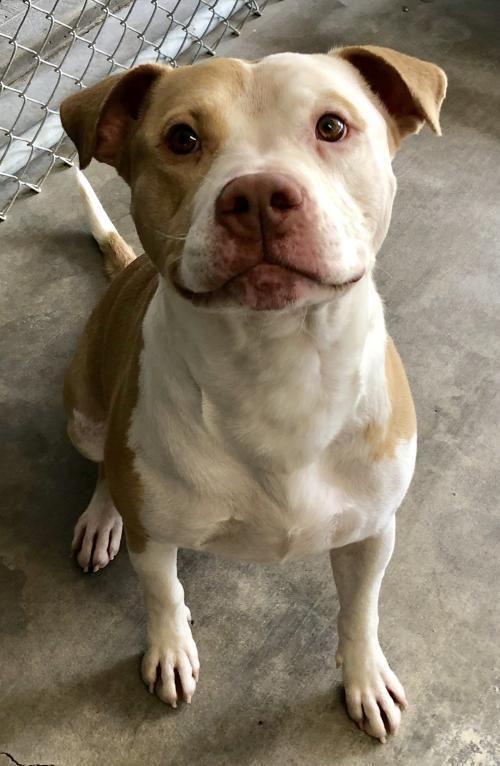 Adopt Max On Petfinder Pitbull Terrier Pitbull Mix Puppies Pitbulls