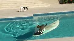 Un gatto sta scappando da un cane. Arrivando in piscina salta su una tavola da surf e si lascia alle spalle il cane che con aria smarrita guarda il suo eterno nemico