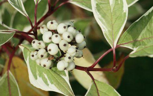 9 Arbusti A Crescita Rapida Arbusti Alberi Alberi Da Giardino