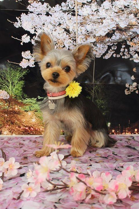 ヨーキーの仔犬カット トリミングカット写真集 ドッグカフェ Jp ヨークシャーテリア ヨークシャテリア 可愛い犬