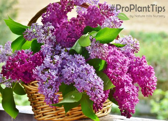 Pruning Lilacs Lilac Flowers Lilac Plant