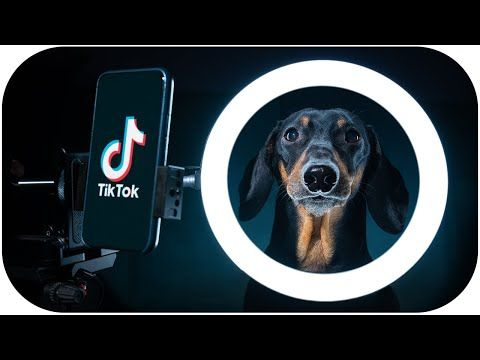 Sorry Dad I M Going To Tik Tok Cute Funny Dachshund Dog Video Youtube Funny Dachshund Dachshund Dog Dog Gifs