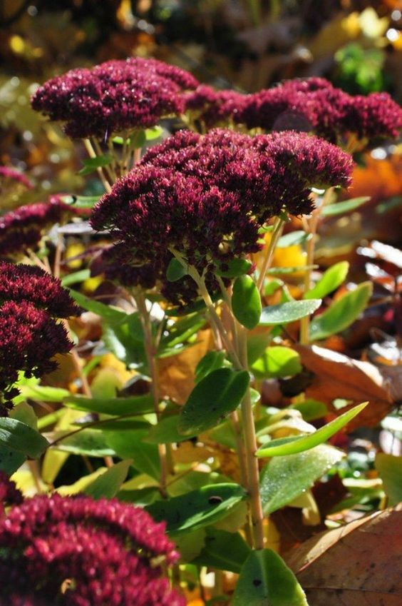 Sedum These bunched up beauties display new colors with the changing weather. (Three Dogs in a Garden)