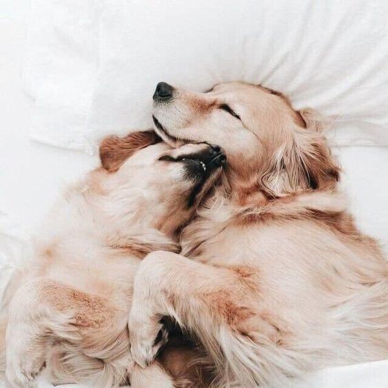 Retrievers Puppy Cuddles Puppies Golden Retriever