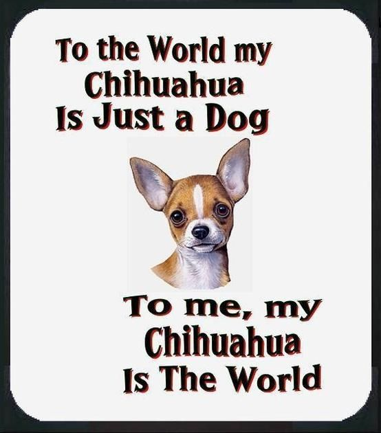 Chihuahua quote #dogs #animal #chihuahua: