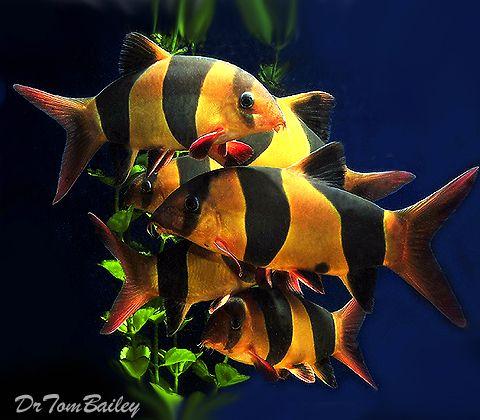 Buy Clown Loaches At Aquariumfish Net Where You Can Shop Online For A Loach Is Fun Saltwater Aquarium Fish Pet Fish Tropical Freshwater Fish