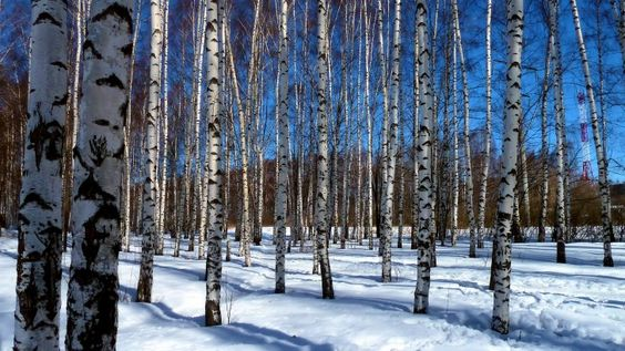 Birches Spring Branches