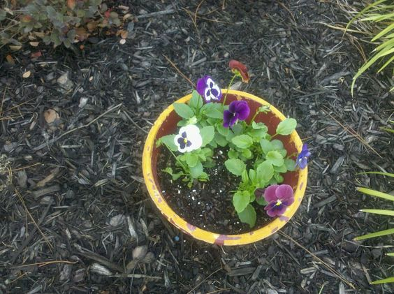 The pansies me and my boyfriend planted. They were pitiful looking when we got them and they bloomed wonderfully!