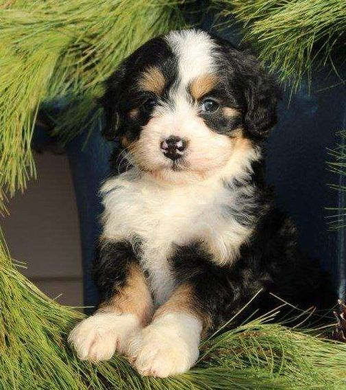 Mini Bernedoodle Puppies For Sale Greenfield Puppies In 2020 Bernedoodle Puppy Greenfield Puppies Mini Bernedoodle