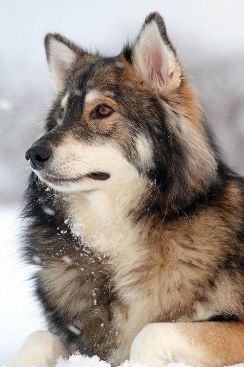 Alaskan Malamute German Shepherd Siberian Husky Mix