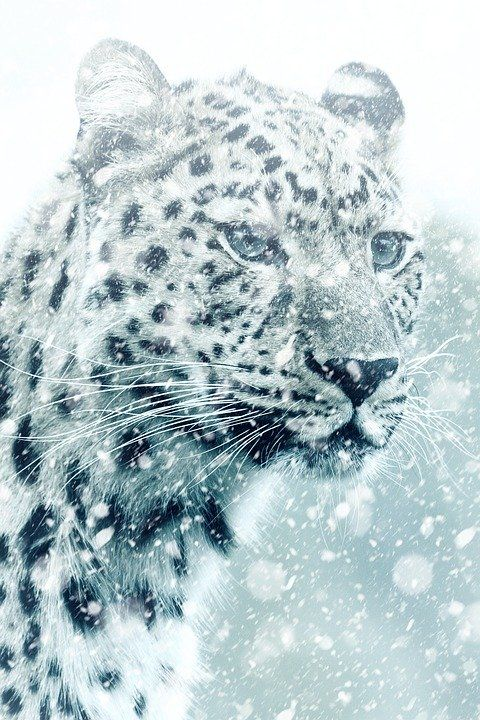 Free Image On Pixabay Leopard Cheetah Animal Cat Animals Cheetah Pictures Cheetah Animal