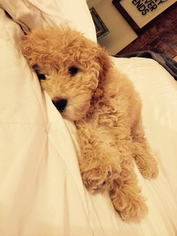 Mini golden doodle puppy.