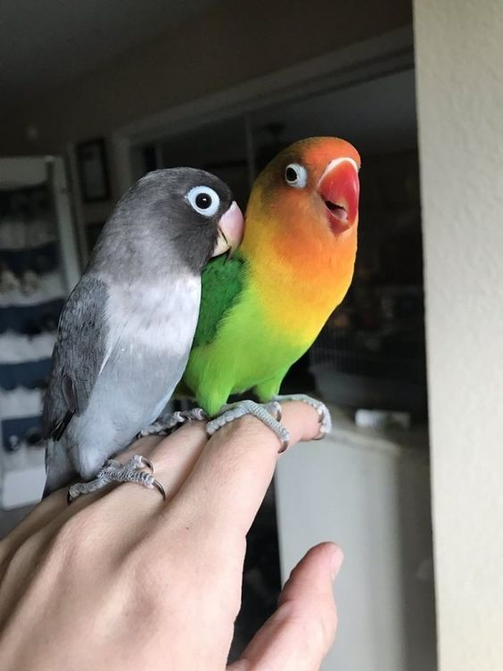 Qbleev Bird Supplies Online Store Love Birds Pet Baby Animals