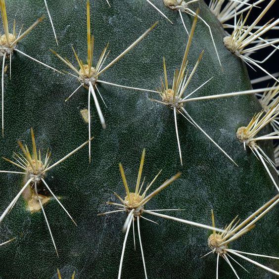 ガラパゴス団扇 #cactus #サボテン #succulent by copiapoa8