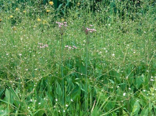 Le #plantain d'#eau, une #plante au #naturel. Très commun au bord des #étangs.