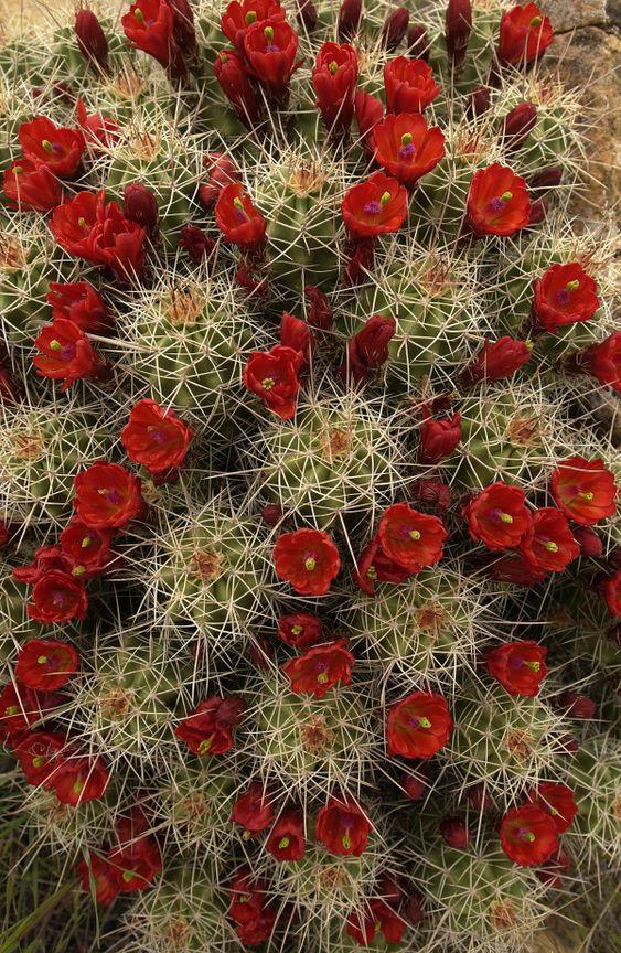 cactus - flores verm
