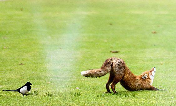 Fabulous Fuchs betreibt Yoga im Garten des Bundeskanzleramtes in Berlin CANIDAE Pinterest