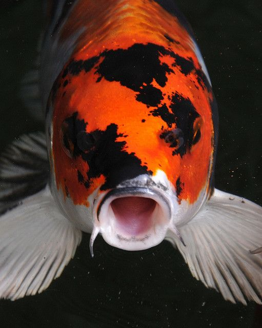 Koi ponds and garden ponds on pinterest for What do koi fish eat