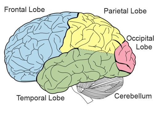 an overview of the four lobes of the brain It's the cerebrum that makes the human brain—and therefore humans—so  formidable  it is further divided into four regions, or lobes, in each hemisphere.