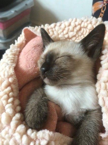 Beautiful Traditional Siamese Male Kitten Sleeping Kitten Cute