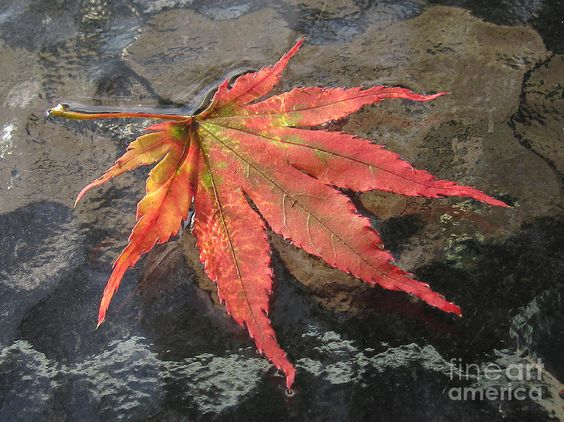 japanese maple leaf | Japanese Maple Leaf Photograph by Addie Hocynec - Japanese Maple Leaf ...