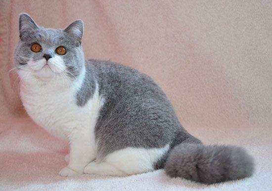 British Shorthair Cats White And Grey Whitecat Milye Kotiki Milye Zhivotnye Zhivotnye