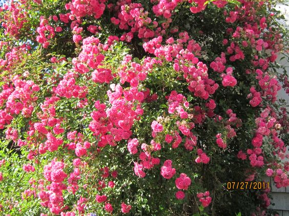 Old Fashioned Climbing Rose Gardening Fields Flowers