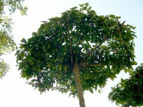 Carpinus betulus (Schirmform)