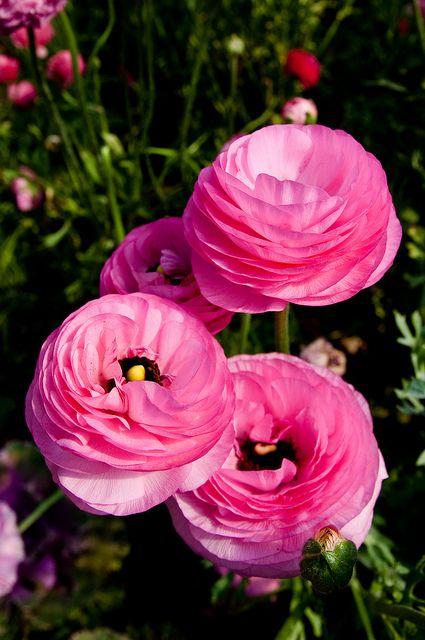 Persian Buttercup, Ranunculus: