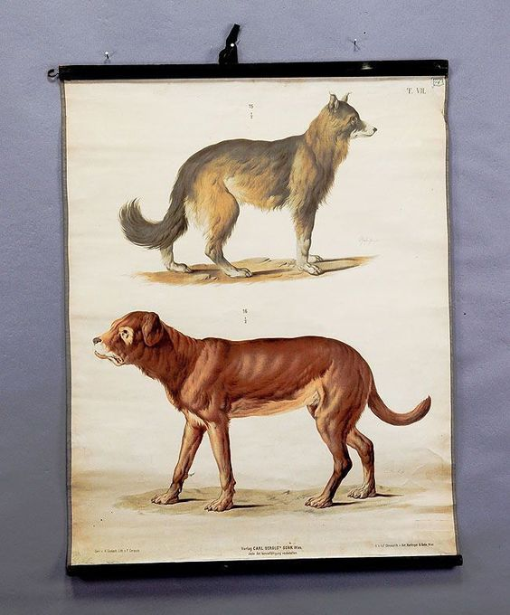 1900, antique natural school wall chart  lithograph sheep dog and bulldog. Pinned by Judi Crowe.