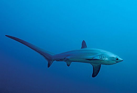 TUBARÃO RAPOSA  (thresher sharks)