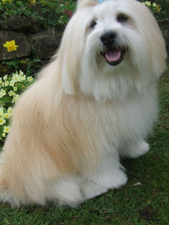 Alfie the Coton De Tulear cross Pomeranian after being groomed at mitcheldean mutts