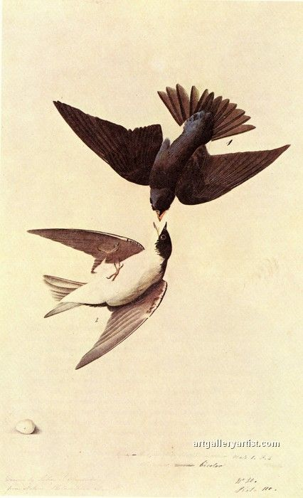 TREE SWALLOW.jpg by John James Audubon