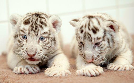 Dos pequeños tigres de Bengala en el Xantus Janos Zoo, Gyor, Hungría (Csaba Krizsan, 2015)