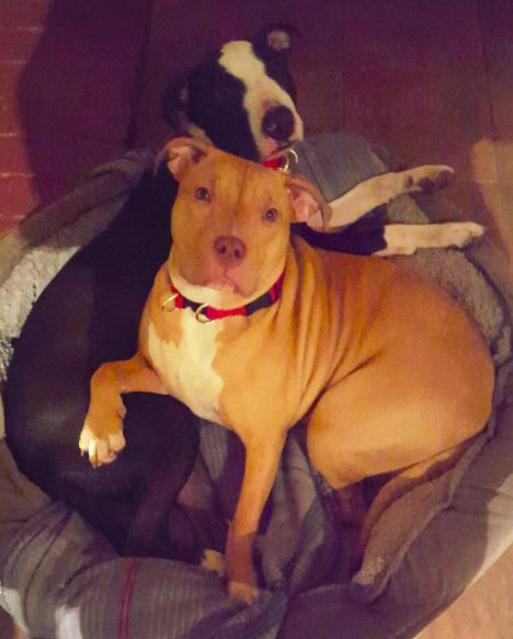 Sweet Penny The Miracle Pitbull Celebrates Her First Birthday With Her Foster Family | 8 | - Three Million Dogs