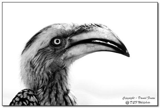 Yellowbill Hornbill by Dawid Fourie on 500px