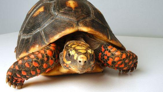 Bildresultat för tortugas de tierra