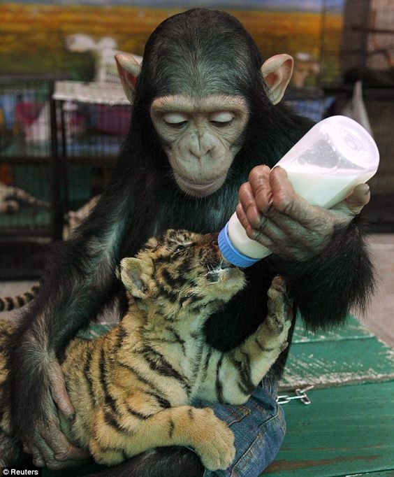 This photo reveals the close bond that has formed between a two-year-old chimpanzee named Do Do and a two-month-old tiger cub named Aorn.