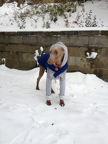 "Doberprincess ""helping"" us shovel the driveway 