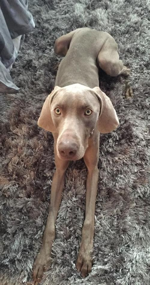 Casey is your typical loving, 1.5 year old female #weimaraner. She is full of energy and loves her daily runs. She is looking for her forever home that can provide a lot of attention and who is home more than they are gone. She will sleep in her bed next to her foster dad at night but don't be surprised if you wake up and she is cuddled up next to you. She gets along great with other #dogs. http://www.doggielife.com/casey/dogs/5I5VMI