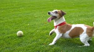 Image Result For Jack Russell Terriers Side Profile Jack Russell Terrier Jack Russell Russell Terrier