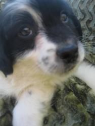 Astro is an adopted Shih Tzu Dog in Creston, OH. I was born under the stars with my brothers and sisters. I was cold then, but now I am happy ans warm inside. I am 11 weeks old. My mommy was a Shih...