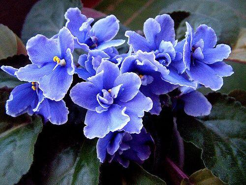 Growing African Violets From Leaves Dreamley African Violets Saintpaulia Violet Flower
