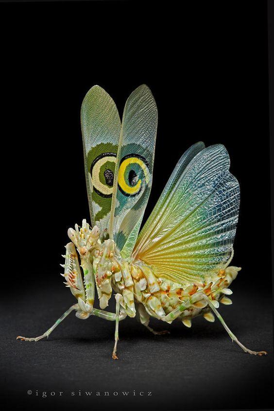 Spiny Flower Mantis Pseudocreobotra wahlbergii, threatening pose.   By: Igor Siwanowicz